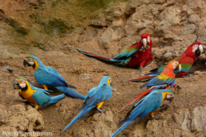 Macaw Clay Lick in the Amazon_PeruForLess