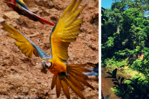 Macaws in the Amazon_PeruForLessCollage